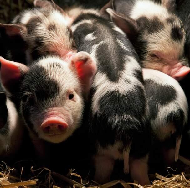 des cochons !