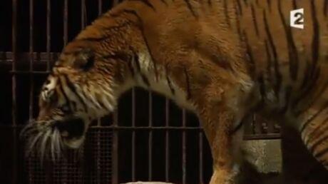 VIDEO Fort Boyard: la PETA demande à France 2 d'arrêter d'utiliser des tigres