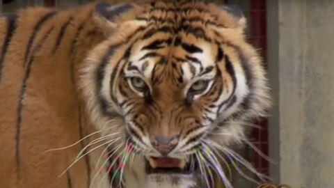 Fort Boyard: la PETA demande le retrait des tigres, le dresseur lui répond