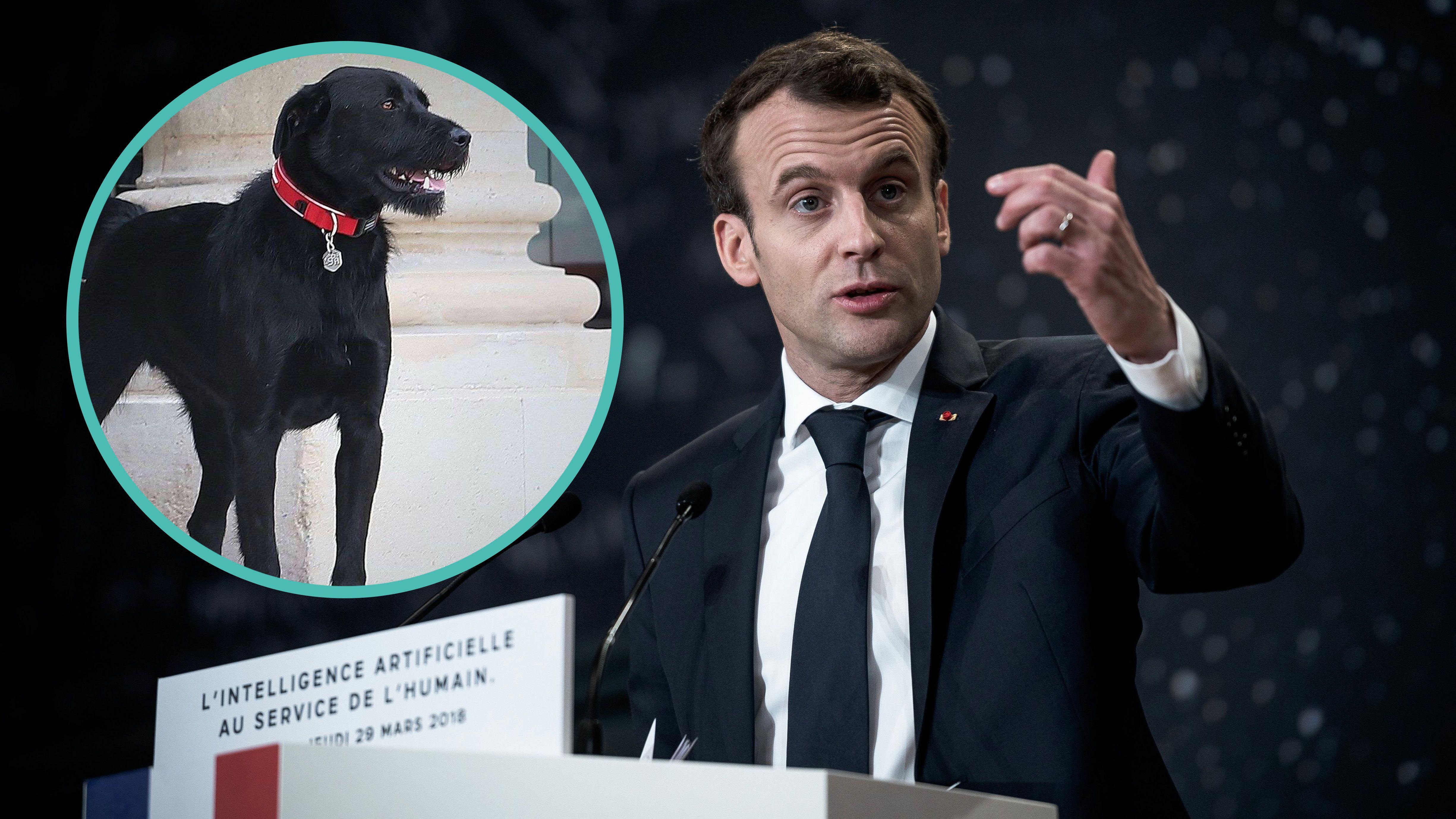 Nemo Le Chien D Emmanuel Macron Martyrise L Equipe Du President Dans Le Salon Des Ambassadeurs Voici