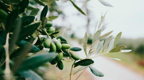 L'huile d'olive pour les cheveux: est-ce que ça marche vraiment?