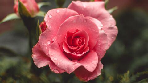 Découvrez toutes les vertus beauté de la rose