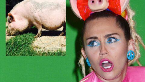 Miley Cyrus terrifiée: son cochon domestique a bien grandi et ça devient compliqué