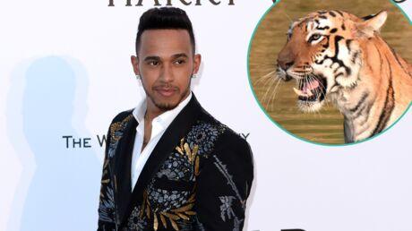 VIDEO Lewis Hamilton: un tigre lui saute dessus et ça ne lui fait même pas peur