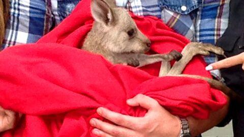 Sydney, le kangourou des Anges 6, souffrait-il de malnutrition?