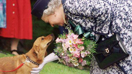 Trop âgée pour s'en occuper, la reine Elizabeth II renonce à ses chiens préférés