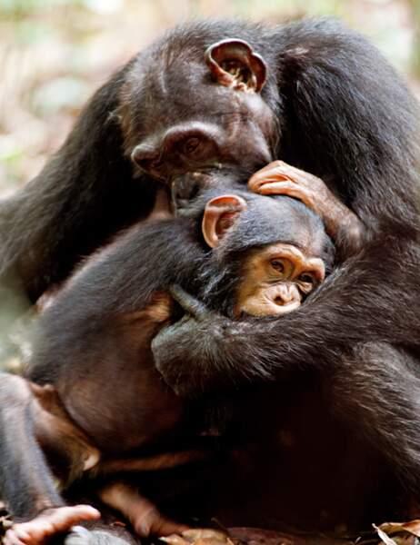 Une image de Chimpanzés, le dernier film de Disney Nature