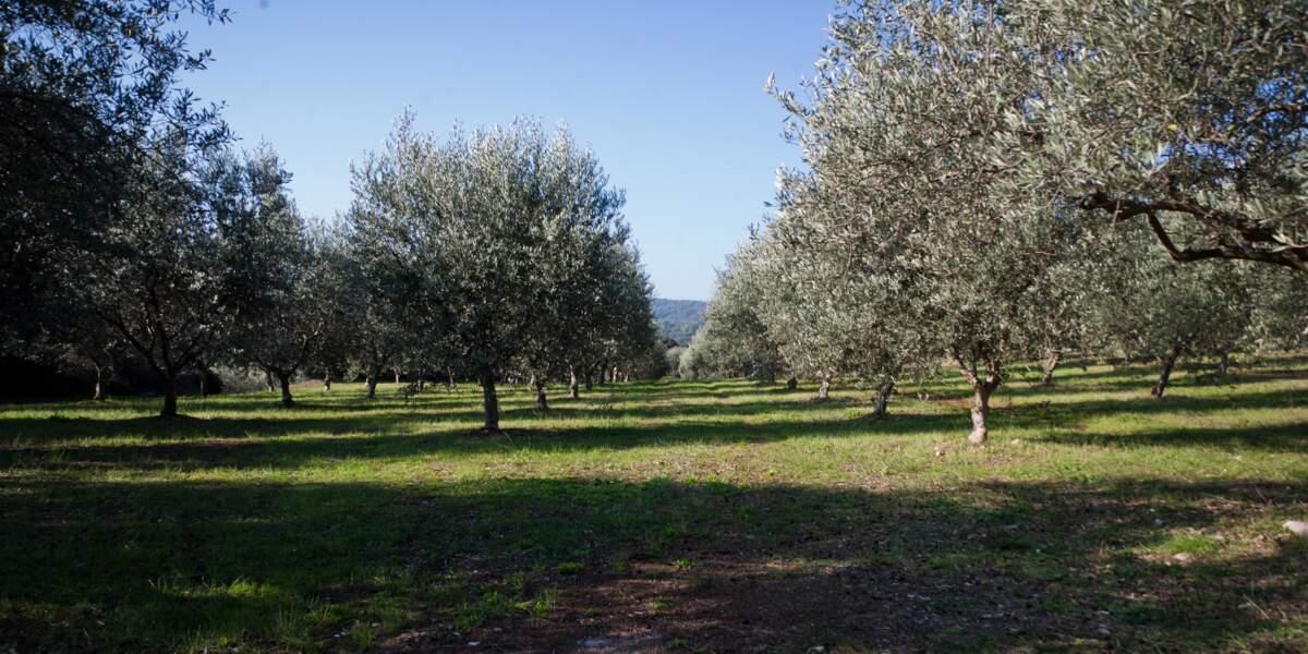 Saga de marque Le Petit Olivier : L'oliveraie du Domaine du Petit Olivier, Sud de la France