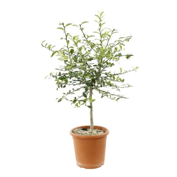 L'olivier en pot. 75 €, Truffaut